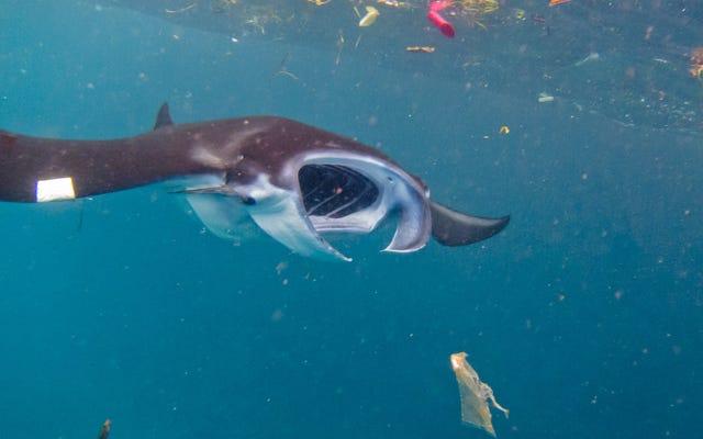オニイトマキエイとジンベイザメは驚異的な量のプラスチックを消費しています