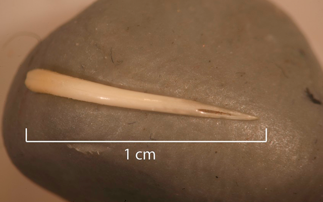 Kotoran manusia dengan sisa-sisa ular yang sangat beracun membuat penasaran para arkeolog