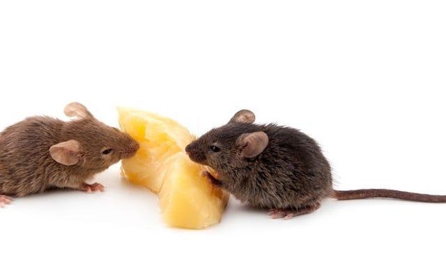 オスのネズミが女性を怒らせるためにファンシーチューンを歌う