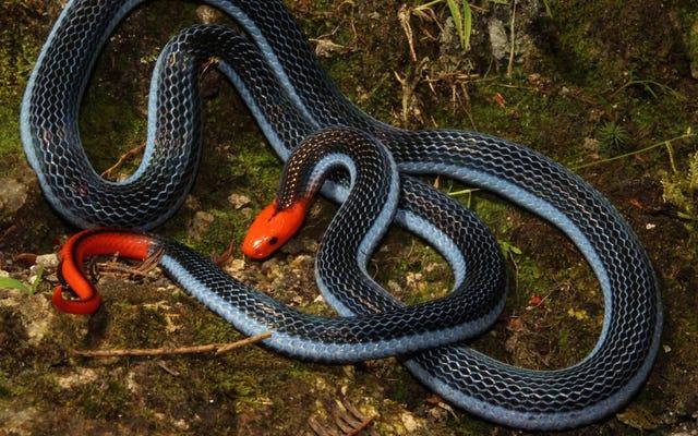Cara yang menakutkan untuk membunuh salah satu ular terindah di dunia