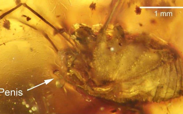 Вот первый из когда-либо найденных эрегированных пенис сохранился в янтаре
