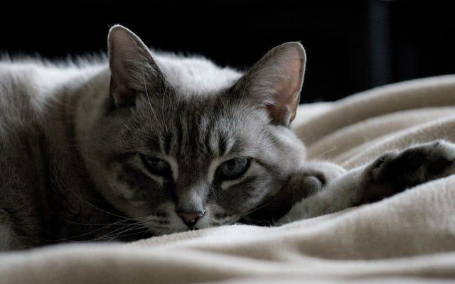 สารเคมีในครัวเรือนทั่วไปอาจทำให้เกิดปัญหาต่อมไทรอยด์สำหรับแมว