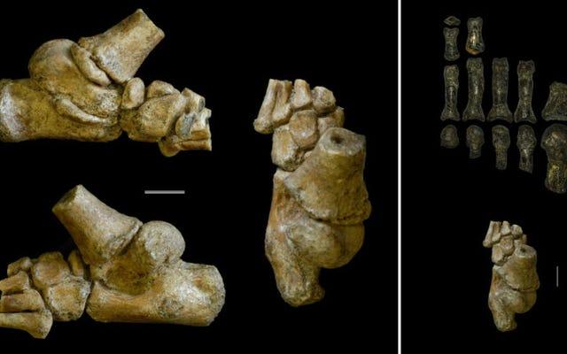 チンパンジーの足を持つ少女:この祖先は直立して歩いて木に簡単に登ることができました