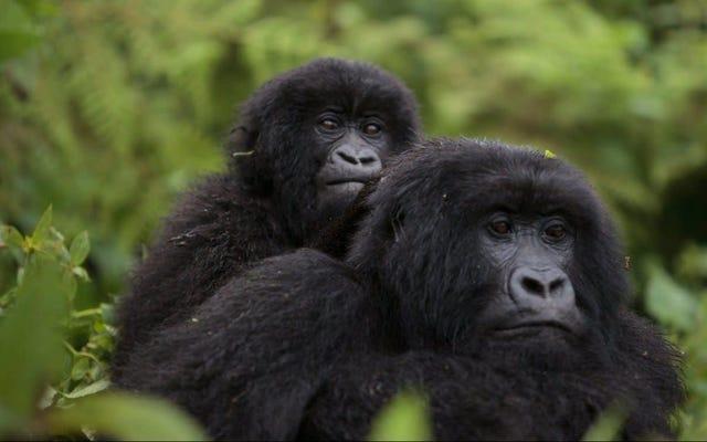Hitungan Baru Gorila Gunung yang Terancam Punah Menyarankan Konservasi Berhasil