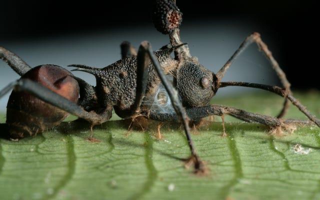 Jamur Yang Mengubah Semut Menjadi Zombie Lebih Mengerikan Daripada Yang Kita Sadari