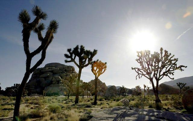 ジョシュアツリーは気候変動によって一掃されています