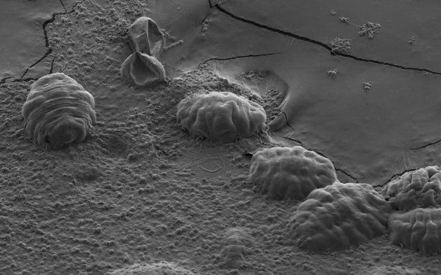 Cách đáng kinh ngạc Tardigrades sống sót qua tình trạng mất nước hoàn toàn