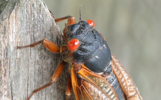 Brood X cicadasはおそらくエビのような味がしますが、私たちはそれを見つけようとはしていません