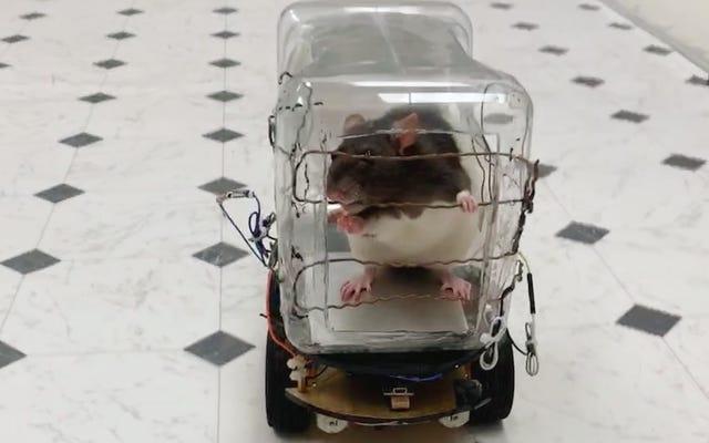 चूहे भोजन के लिए छोटी कारों को चलाएंगे