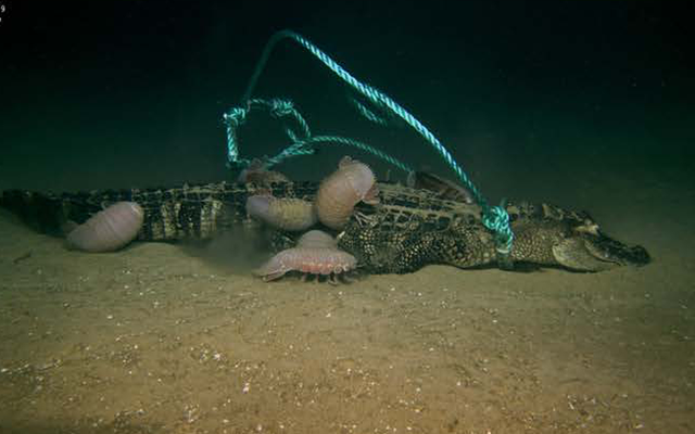 Caimanes muertos arrojados al fondo del mar hacen una comida rara y deliciosa