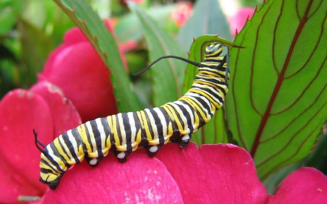 モナークの幼虫は食べ物をめぐってお互いを打ち負かしています