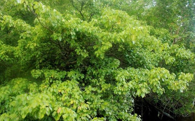この木の近くに行けば、盲目になることができます。あなたがその果物を食べると、あなたにもっと悪いことが起こる可能性があります