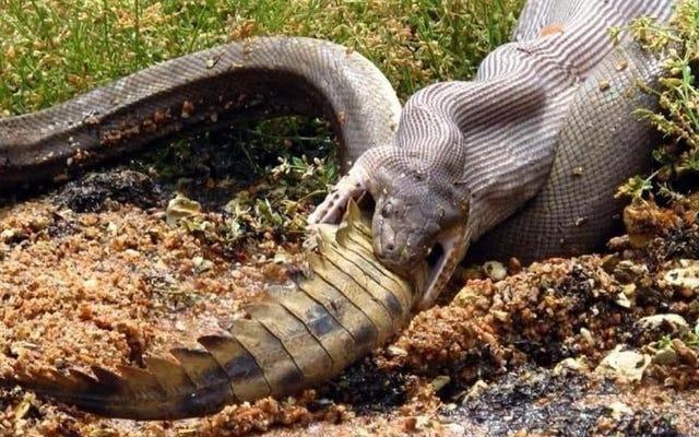 Pergilah berkayak di Australia dan saksikan ular sanca menelan buaya utuh