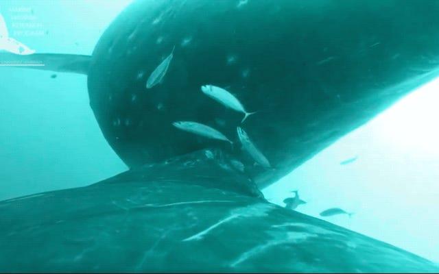 Increíble video muestra a una ballena jorobada amamantando a su cría