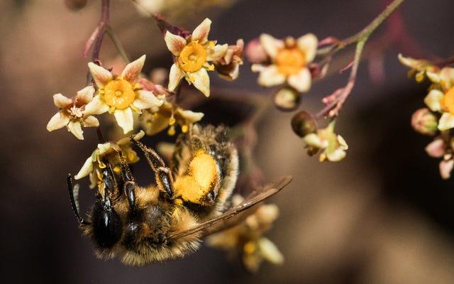 Las abejas geniales fuerzan a las plantas a florecer mordiéndolas