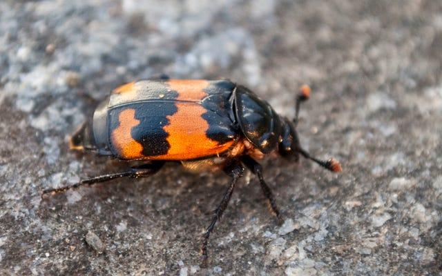 Seppellire il succo di culo degli scarafaggi è ancora peggio di quanto sembri