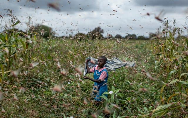Климатический кризис мог способствовать появлению массовых стаей саранчи в Восточной Африке