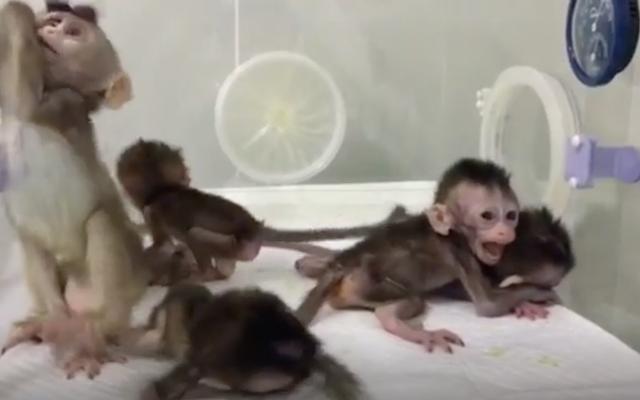 Eksperimen Monyet Kloning Tiongkok Terbaru Adalah Kekacauan Etis