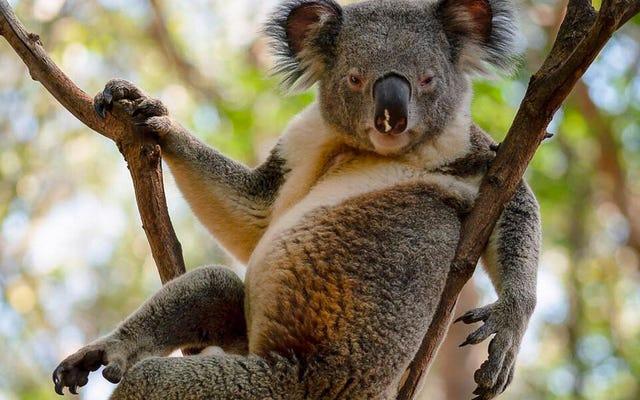 Czy myślisz, że ta koala jest seksowna?