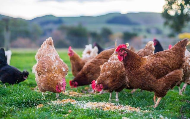 Où sont passés tous les petits poulets?