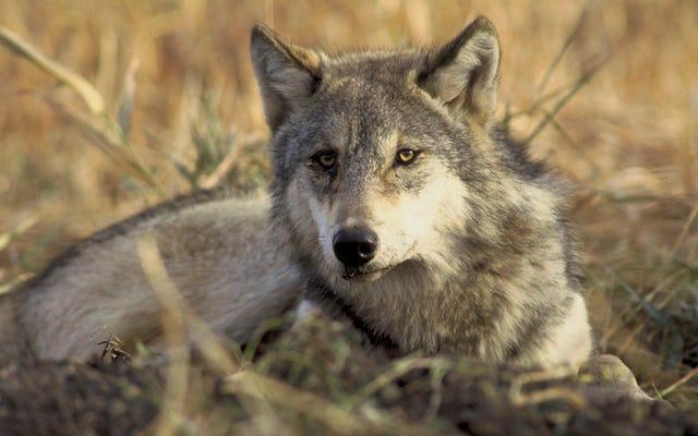 有権者が歴史的な法律を承認した後、コロラドはオオカミを取り戻しています