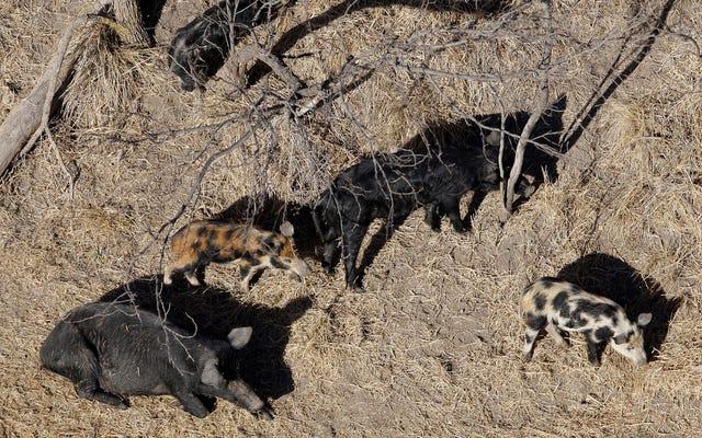 ผู้บริหารของทรัมป์อนุญาตให้ 'ระเบิดไซยาไนด์' ฆ่า Feral Hogs อย่างจริงจัง.