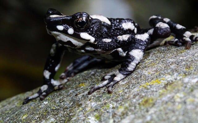 Cette espèce de grenouille arlequin que l'on croyait éteinte réapparaît après presque 30 ans