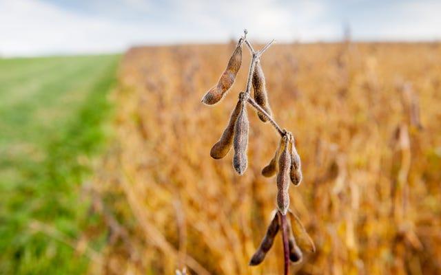 農業省は、アルビノ子牛の死産後の大豆収量の37%減少を警告しています