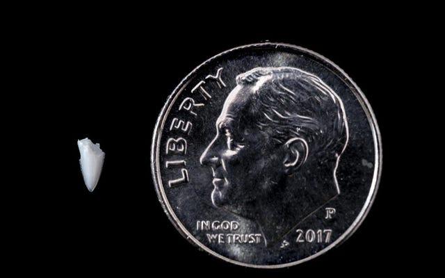 足から抜いた歯のおかげで25年後に解決されたサメの咬傷の謎