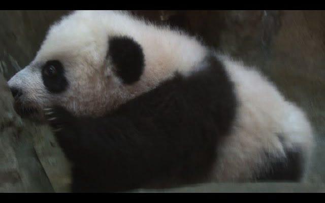 Ce bébé panda reste mignon malgré sa vie à la maison dramatique