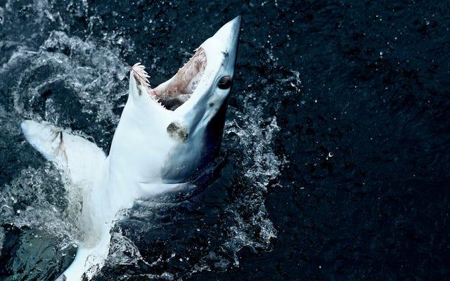 หนึ่งในฉลามที่กินมากที่สุดในโลกตอนนี้ตกอยู่ในอันตรายมากขึ้น [อัพเดท]