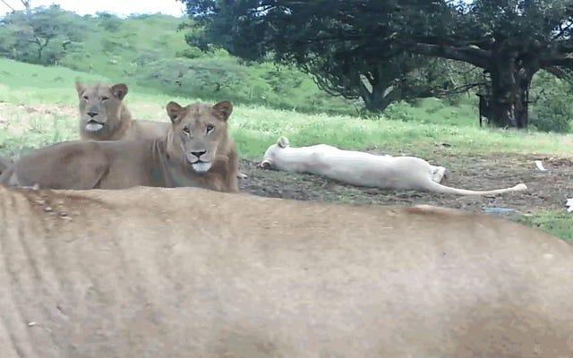 Đây là điều sẽ xảy ra nếu bạn không khóa cửa xe khi có sư tử xung quanh