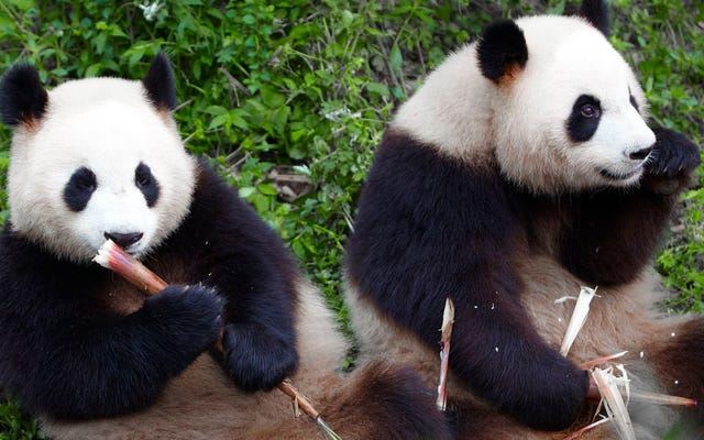動物園の飼育係は、友情を台無しにするのが怖いので、パンダが交尾していないことを確認します