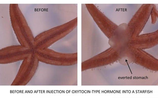 「愛のホルモン」は、一部のヒトデが胃を裏返しにして食べるのを助けます