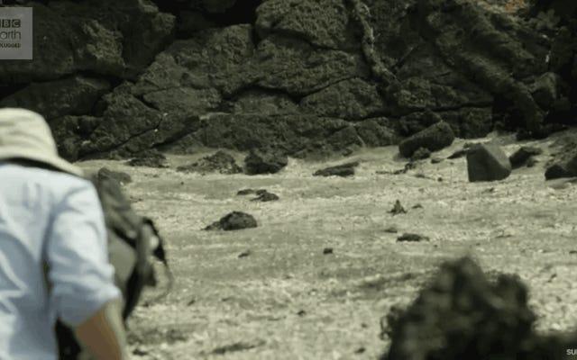 その赤ちゃんイグアナの戦いキラーヘビの新しい映像があります