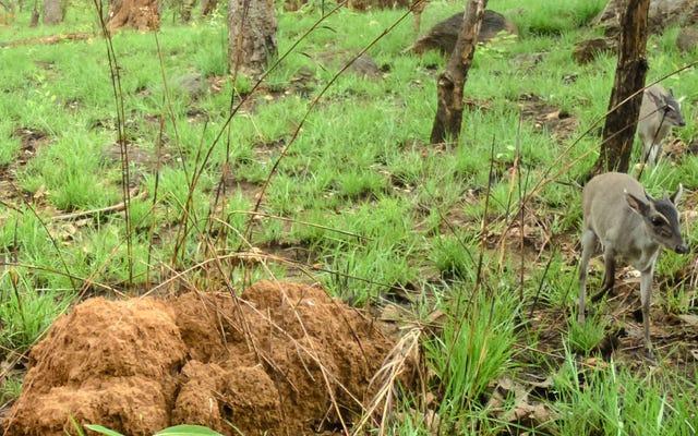 एक दुर्लभ एंटेलोप पहली बार के लिए जंगल में फोटो खिंचवाने वाला है