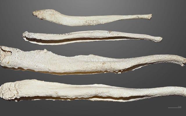 Новое исследование предполагает, что моногамия убила кость пениса у людей