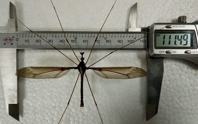 心配しないでください、彼らが中国で巨大な蚊を見つけたというのは真実ではありません