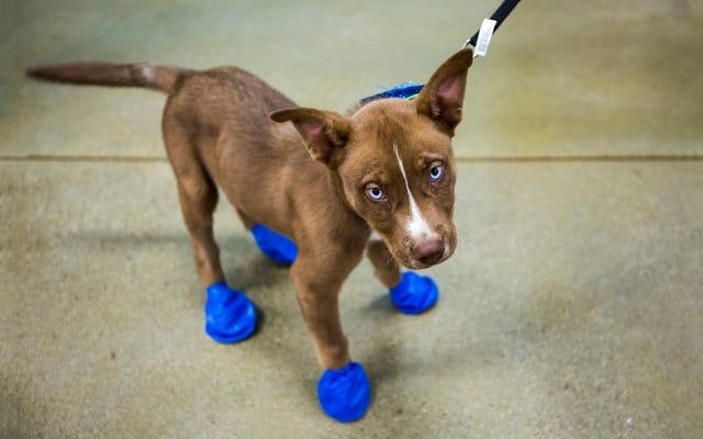 アリゾナはとても暑いので、犬は足を揚げています