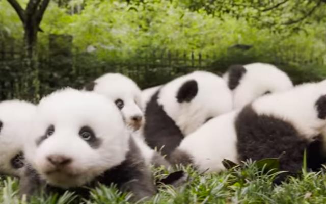 Les pandas géants ne sont plus en danger