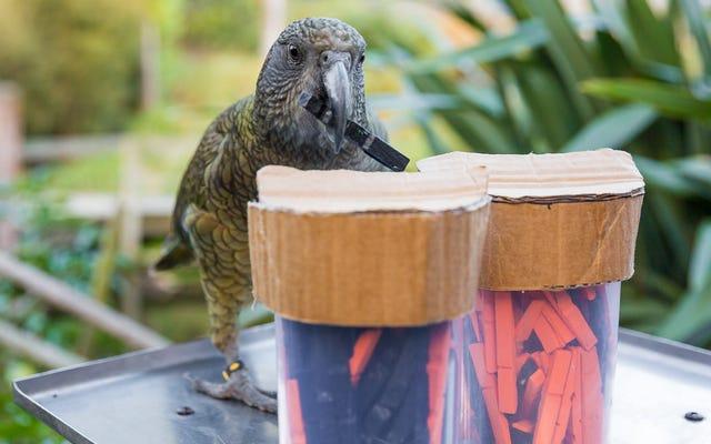 Questi pappagalli intelligenti possono capire la probabilità