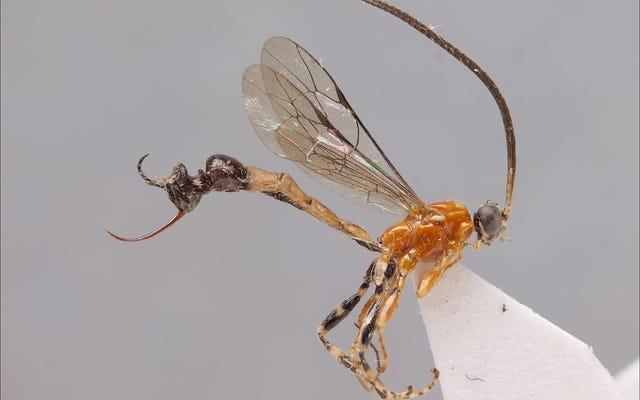 Um, esta especie de avispa tiene una cabeza de hormiga por trasero