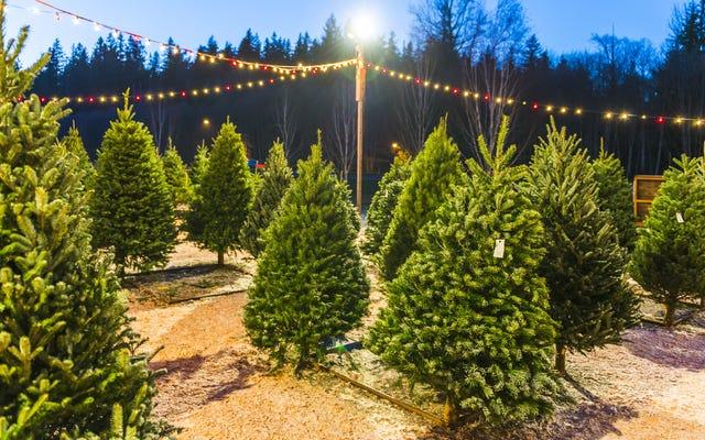 Bây giờ là lúc để mua một cây thông Noel thật