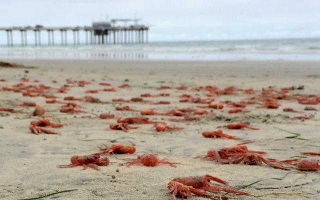 Эль-Ниньо дает калифорнийских крабов