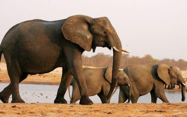 ジンバブエで11頭の象が死んでいるのが発見されたが、その理由は誰にもわからない