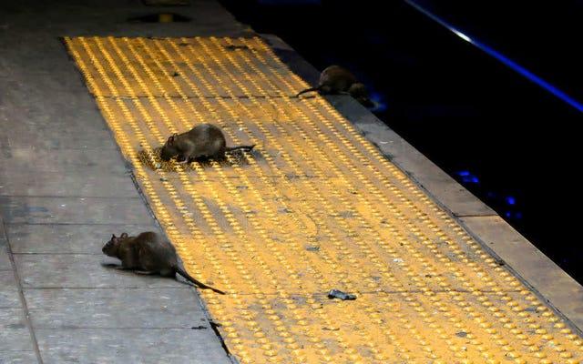 फिर भी कोरोनावायरस का एक और अप्रत्याशित नया दुष्प्रभाव: चूहा टर्फ युद्ध