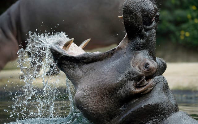 ¿Quién ganaría si un hipopótamo luchara contra un rinoceronte? Una pregunta para todas las edades.
