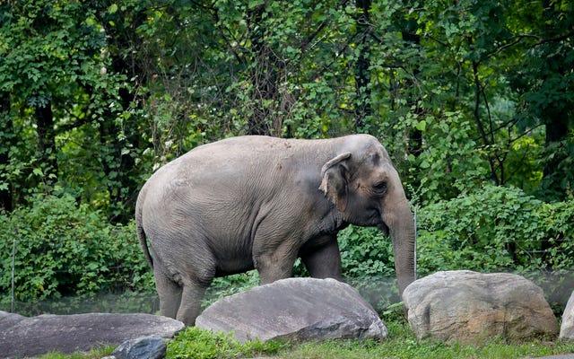 Abogados de bienestar animal dicen que el 'elefante más solitario' de Nueva York es una persona