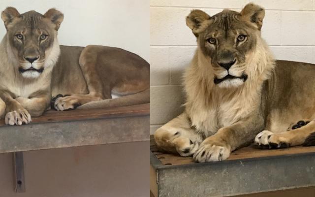 獣医は、オクラホマシティ動物園の雌ライオンがたてがみを持っている理由を見つけようとします