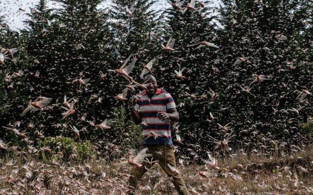 ケニアの農民はイナゴの疫病を動物の餌に変えます